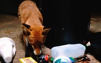 fox with rubbish overflowing bin